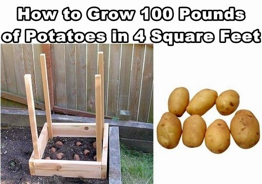 Diy Projects: How to Grow 100 Pounds of Potatoes in Small Garden