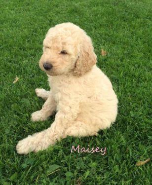 F1B Labradoodle puppy