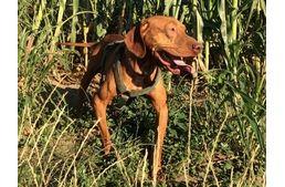 Remény a gyógyulás útján - Videóval!  #kutya #vizsla #dog #állatmentés #kutyabarathelyek