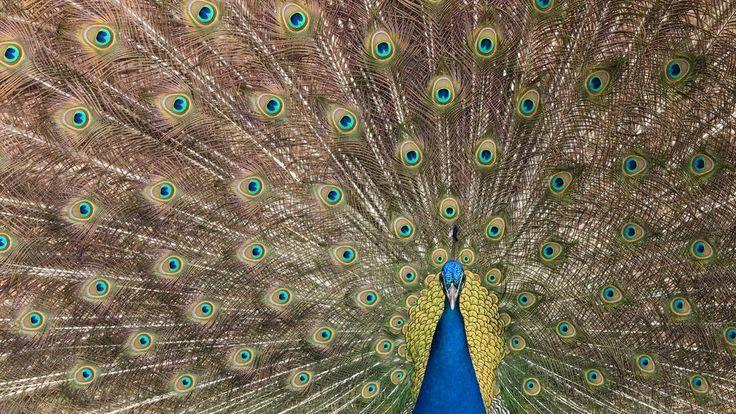 Silent partners. Peacocks make infrasound for mates.