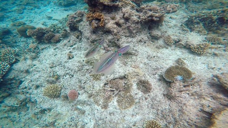 We actually saw these two wonderful cuttle fish while snorkelling on the Seaspray trip