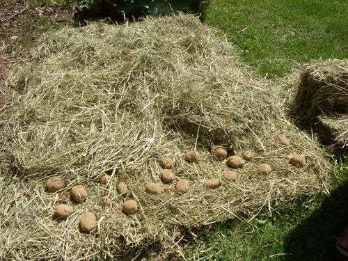 Dirt free potatoes and thats no hay gardening for Straw bale gardening techniques