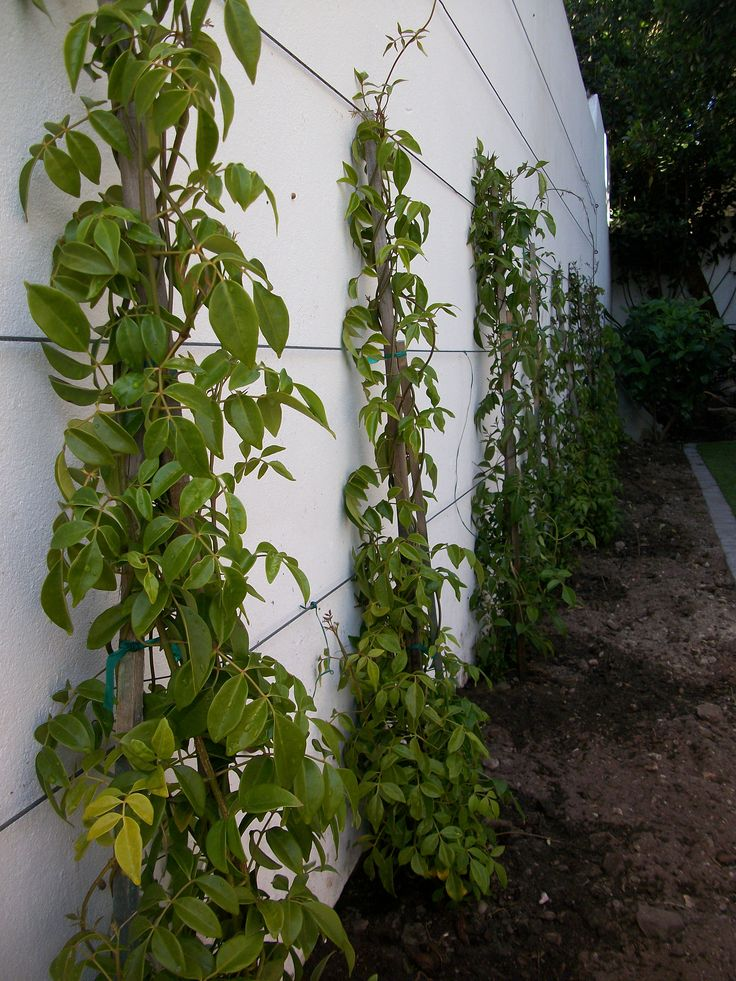 Pandorea jasminoides creepers to be trained along stainless steel cable climbing supports...clean, simple and long lasting! Onrus, Hermanus.