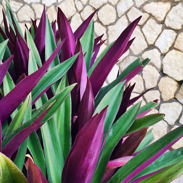 Jamaican Plant :: Moses in a Cradle Plant (Herbaceous perennial) - Known by a variety of names, including Moses-in-the-cradle, boat lily and oyster plant, this tropical perennial grows in low,...