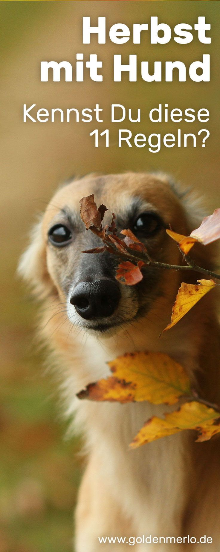 Autumn with Dog 🍁 Do you know these 11 rules? || Attention toxic Safety in the dark | Hunting season | Mud paws | wet dog || www.goldenmerlo ….