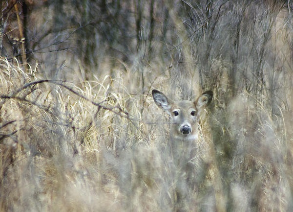 Inconspicuous-Ojibway park Whitetail.