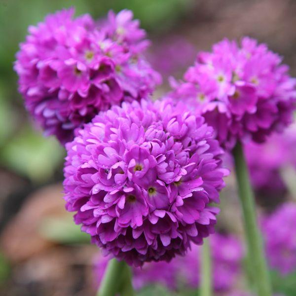 Buy drumstick primrose Primula denticulata: Delivery by Crocus