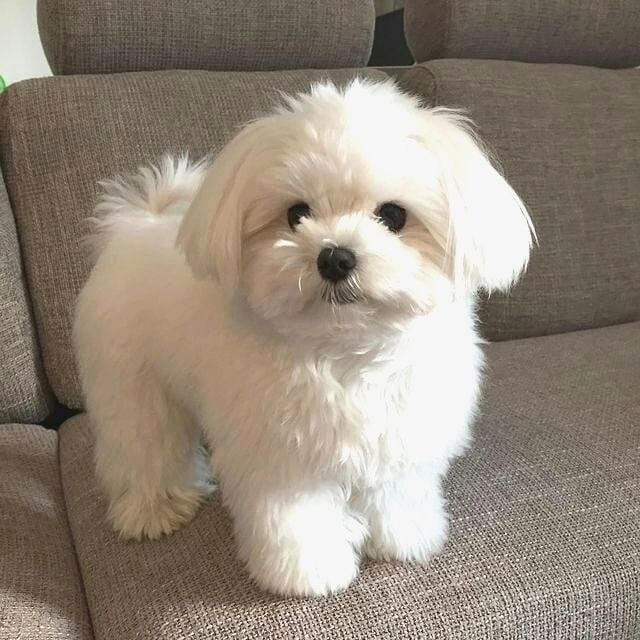 Maltese Lover On Instagram By Maltese Maltese Malteseloverz Tag Your Friends Who Need To See This For More Cute Puppies Maltese Dogs Maltese Puppy