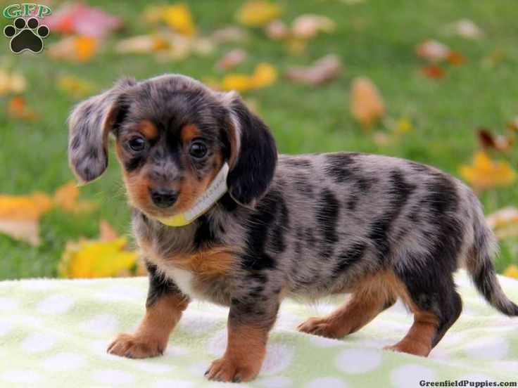We have Dachshund Mix puppies for sale here at Greenfield ...