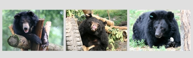 Jill Robinson Fights to Save Wildlife Via Animals Asia Foundation | Rescued Moon Bears at the Animals Asia Foundation Sanctuaries www.greenglobaltravel.com