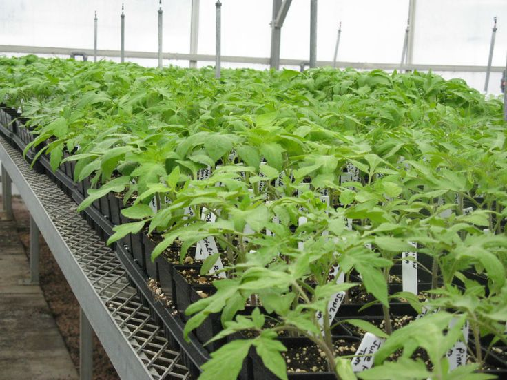Front Range Food Gardener: Unique tomatoes and chiles featured at plant sale