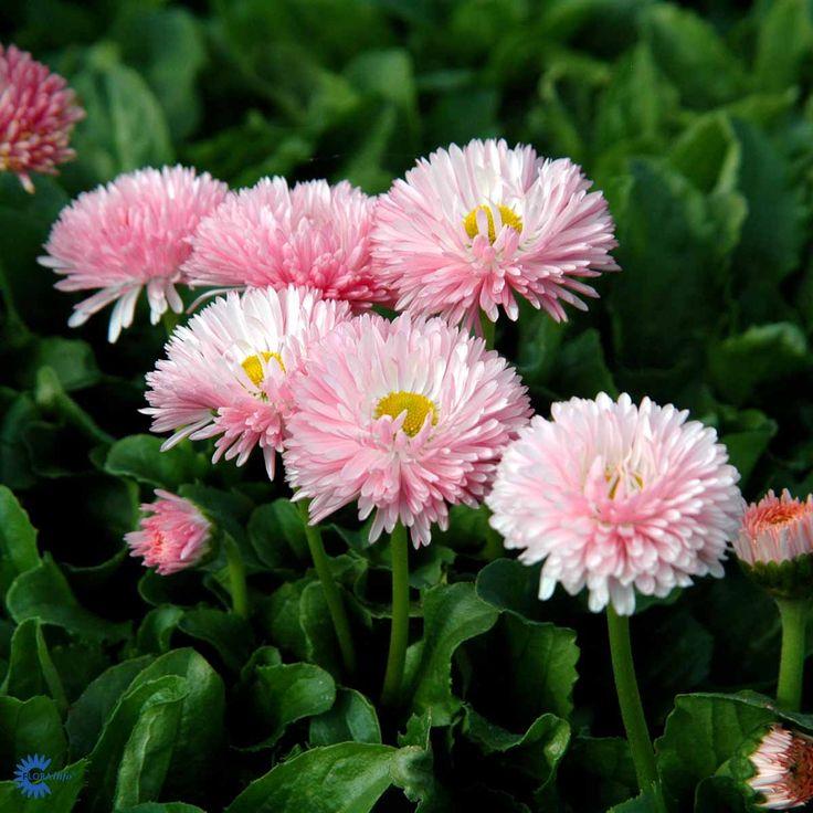 BELLIS perennis 'Planet Strawberry and cream' - Tusindfryd, farve: rosarøde nuancer, lysforhold: sol, højde: 12 cm, blomstring: marts - juli.