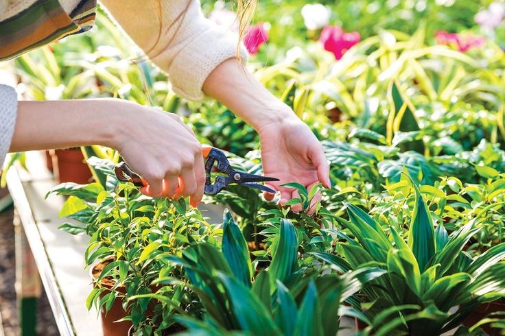 The two most common horticultural techniques for directing your plants' growth are pinching and pruning. These trimming techniques include the removal of straggly limbs and vines, the deadheading of spent flowers and leaves, and even more aggressive interventions like the removal of entire branches.