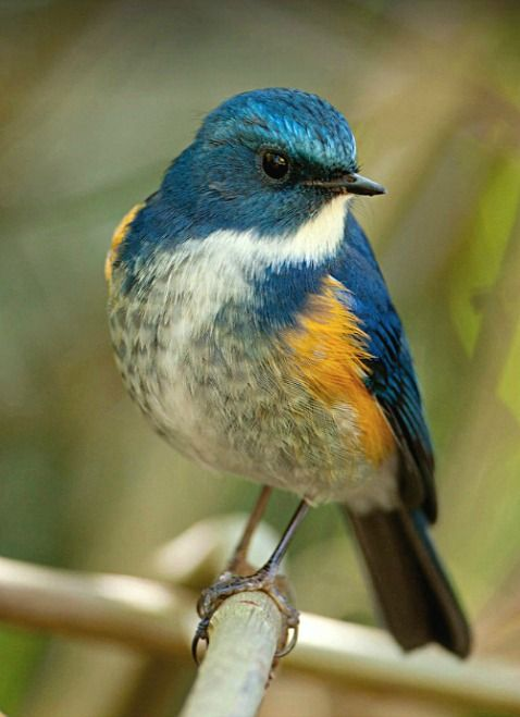 Himalayan Bluetail (Tarsiger rufilatus). An Asian Old World flycatcher. photo: Michael Gillam.