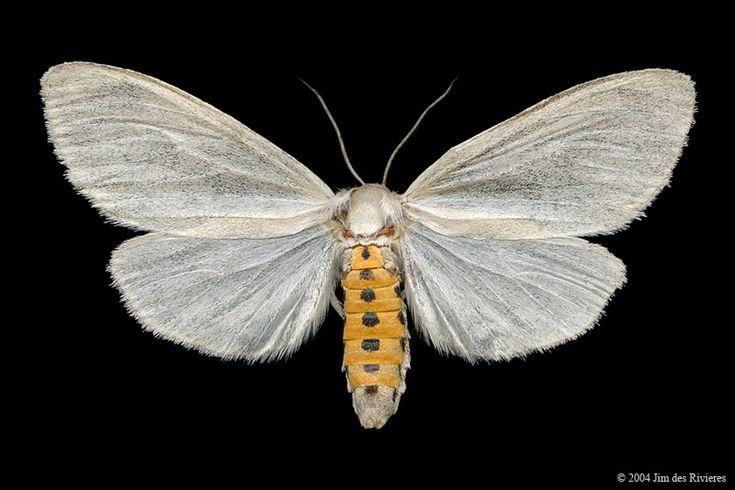 Virginian Tiger Moth (Spilosoma virginica) - Camp Fortune, Quebec - July 16, 2004