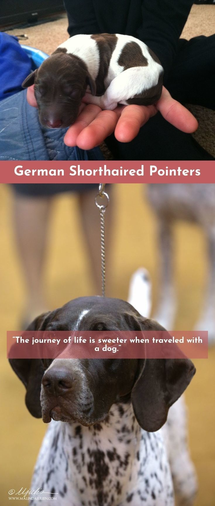 7 Best Dogs Breeds For People Allergies Dogs German Shorthaired