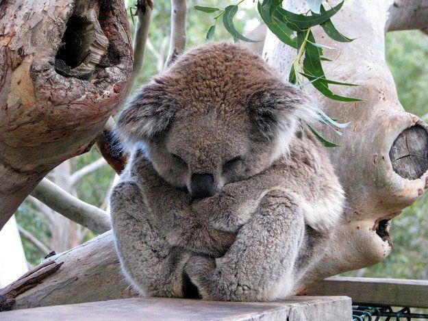 Wie süß ist dieser Typ?!?! Koala-Koalas sind KEINE BÄREN, sondern MARSUPIALS