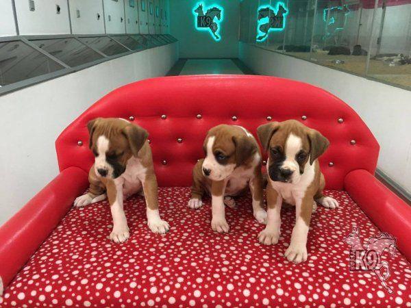 Satılık Boxer Yavruları | Club K9 Köpek Çiftliği ve Binicilik Merkezi