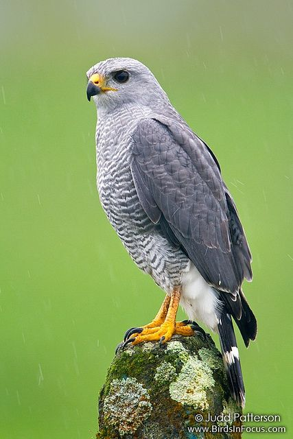 Gray Hawk | Flickr - Photo Sharing! Saw one while hiking in Puerto Vallarta.
