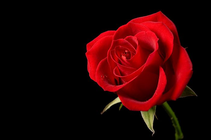 Red Rose Black Background | single red rose flower