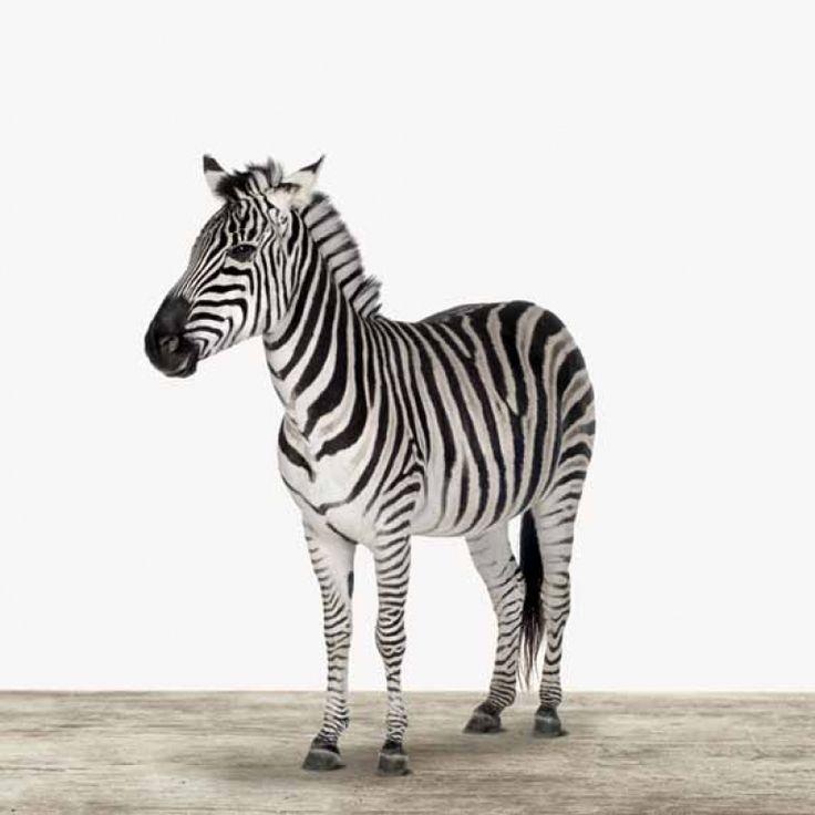 Houdt u van zwart en wit, dan is de zebra iets voor u. De zebra is net als de andere ArtyAnimals verkrijgbaar als op diverse soorten wanddecoratie, zoals foto op hout en foto op canvas, in verschillende formaten van klein tot groot. Leuk voor in uw woonkamer, slaapkamer, keuken of kantoor.