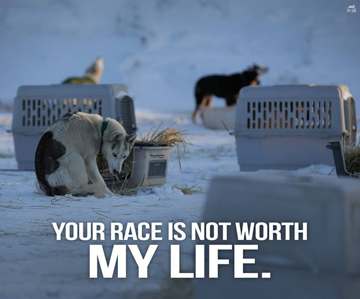 Dogs die nearly every year in this grueling race, during which they are forced to run nearly 1,000 miles through harsh weather conditions in under two weeks.
