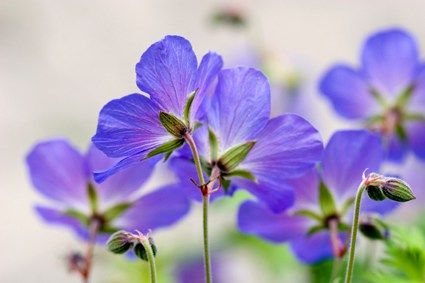 Geranium Essential Oil - Uses and Benefits for your skin.