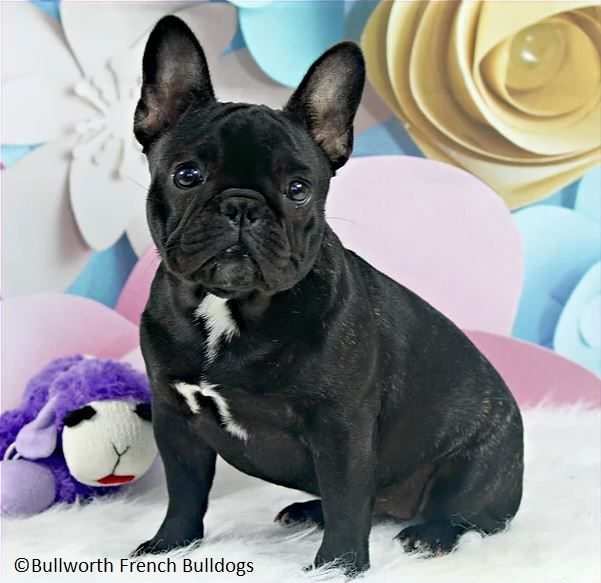 Margaret Is Just The Most Adorable Little Black Brindle Frenchie