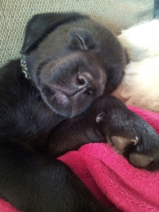 sleeping black lab pup ❤