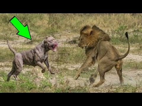 Sức mạnh chó ASLAN Lion vs Pitbull dogs  ► most amazing wild animal attack