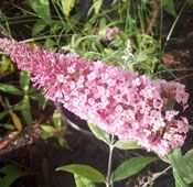 Show product details for Pink Delight Buddleia Plant
