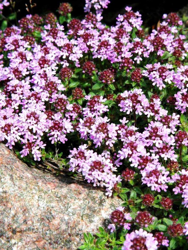 Gråtimjan, 'Thymus pseudolanguinosus'. Bästa marktäckaren av timjanarterna. Dess grågröna färg gör den till en bra sällskapsväxt och underplantering. Passar även i kruka. Behöver delas när den blir kal i mitten. Klarar att man ibland går på den utan att den blir skadad. Små rosa blommor som sitter i något glesare samlingar jämfört med back- och purpurtimjan. Omtyckt av bin. Blommar juni-juli.