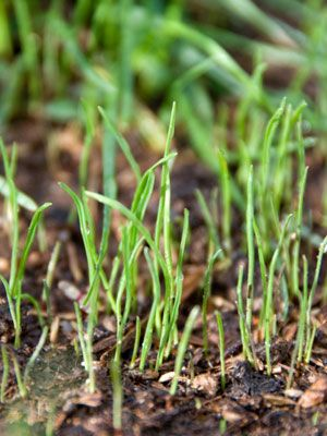 You should always keep grass seed on a dark shelf in the potting shed or another cool, dry area. When a bare area appears, spread some seed, cover it with a thin layer of compost and keep the seed moist until a couple of weeks after it germinates. Actively growing grass will out compete the weeds and help give you that lush, green carpet you may admire.