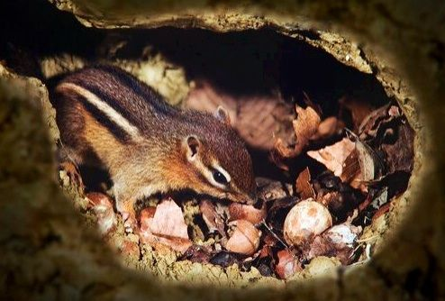 Eastern Chipmunk storing nuts for winter | CHEEKY ...