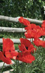 Brilliant Scarlet Poppy - Perennial