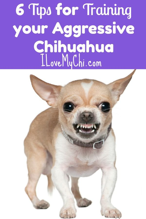 6 Tips For Training Your Aggressive Chihuahua Aggressive Dog Chihuahua Dog Training