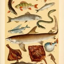Free Vintage Illustrations of Wild Fish, marine life, and More Wild Animals