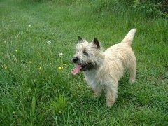Cairn terrier – Rassen - Hondenplaza