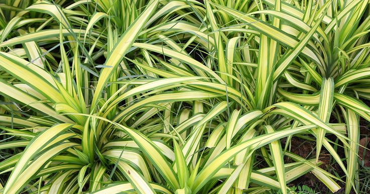 75 best house plants images on pinterest indoor plants for Spider plant dogs