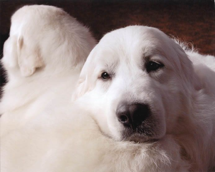 Beautiful look, sincere and friendly eyes :-) Orion - Great Pyrenees Champion Darlington's Starstruck, CGC, TDI, RN