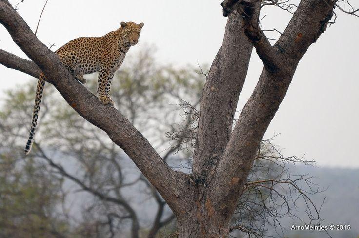 https://flic.kr/p/vHmnvD | DSC_3166 | Leopard in tree