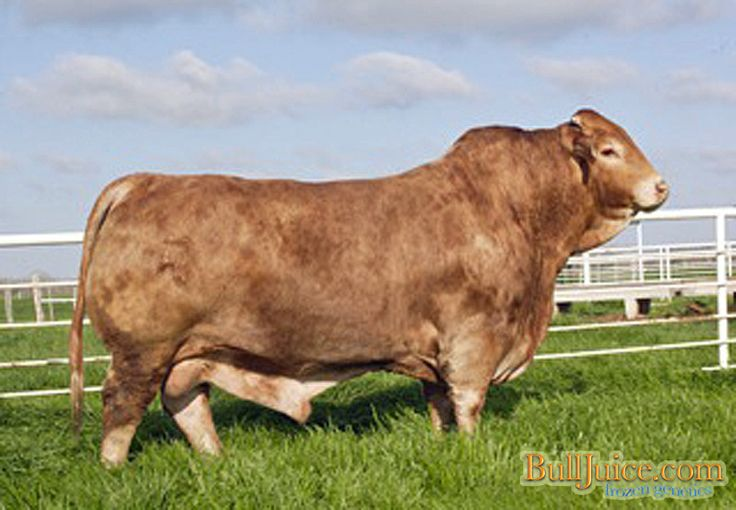 41 best images about Beefmasters on Pinterest | Cattle ...