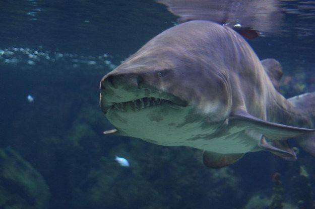 Os filhotes de tubarão-touro comem uns aos outros no útero. | 17 fatos espantosos sobre os tubarões