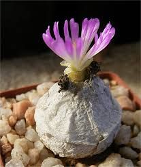 Image result for Conophytum burgeri