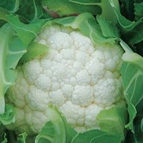 Drought resistant cauliflower  http://www.allotmentplanner.org/growing-brassicas.php