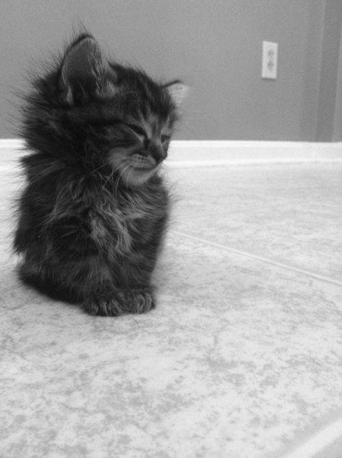 kiiiitttttyyyy<3Ball, Kitty Cat, Maine Coon, Pets, Baby Kittens, Fur, Adorable, Animal, Baby Cat