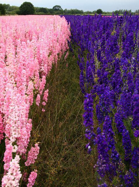Delphinium flower fields in Worcestershire, UK