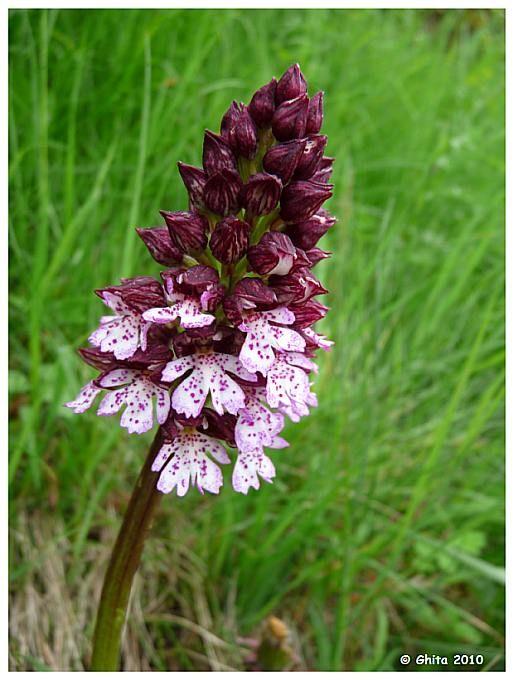 Orchidee, Gerendal, Valkenburg aan de Geul, Zuid-Limburg.