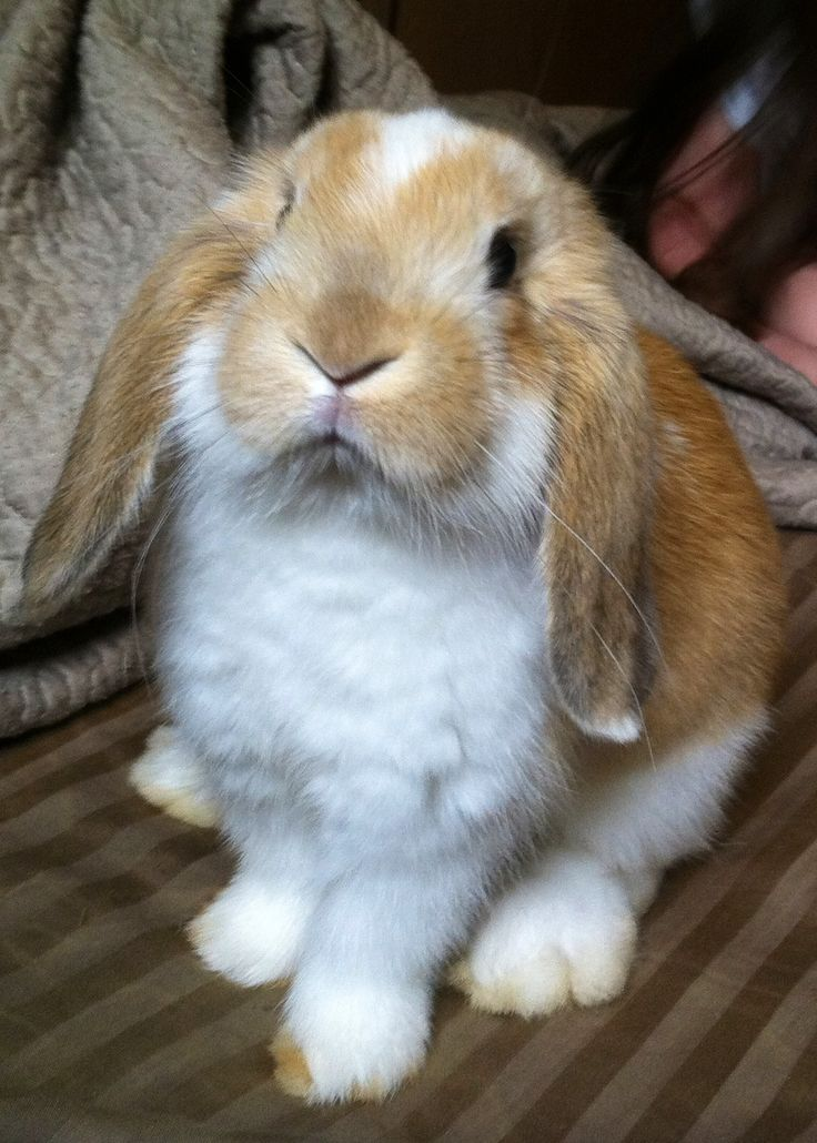 Our mini-lop, Daisy!
