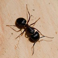 1000 ideas about carpenter ant damage on pinterest bee images flying ants and search. Black Bedroom Furniture Sets. Home Design Ideas